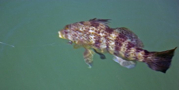 A spotted bass hooked on a fly. Bass can be hooked on flies, size 1 to 6. Photo by Nick Curcione.