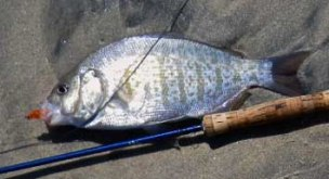 Surf perch can be taken on various fly patterns in sizes from 1 to 4.   Photo Nick Curcione.